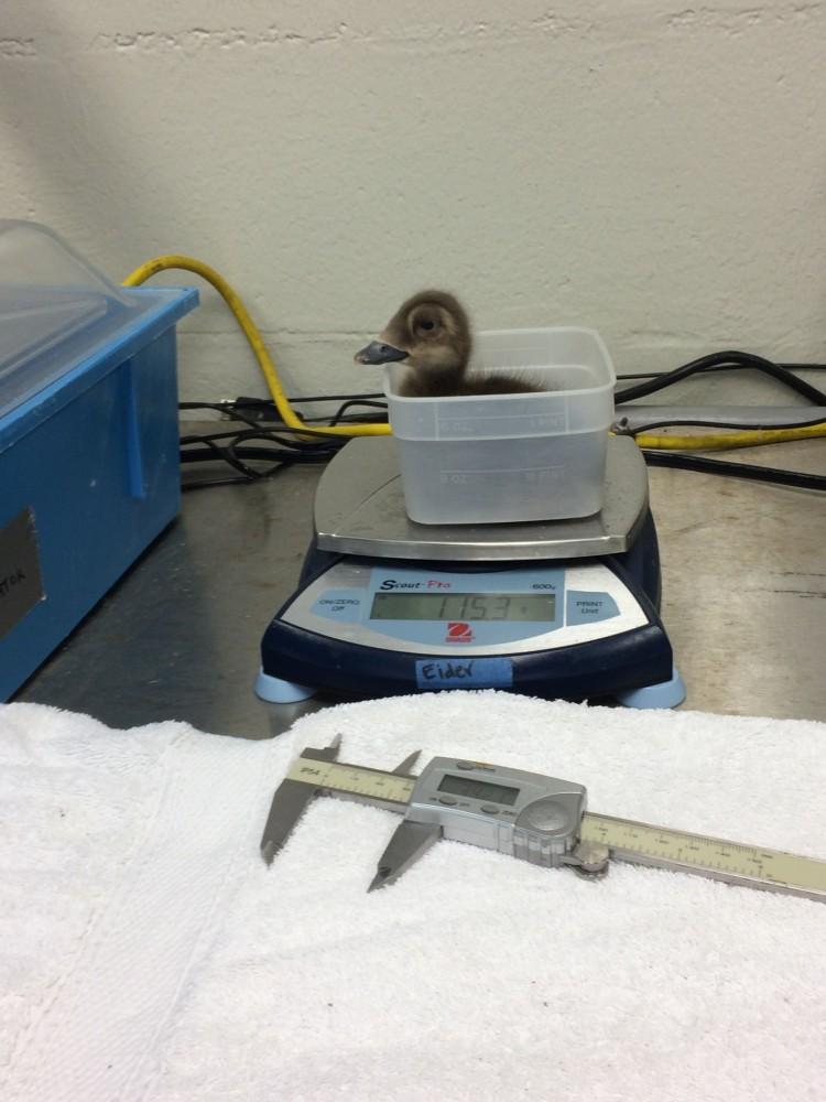 Eider_duckling_weigh