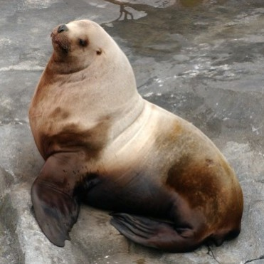 Our male Steller sea lions also change during the breeding season--they start bulking up and can weigh as much as 2000lbs! This adaptation helps them defend territories from other bulls in the wild.