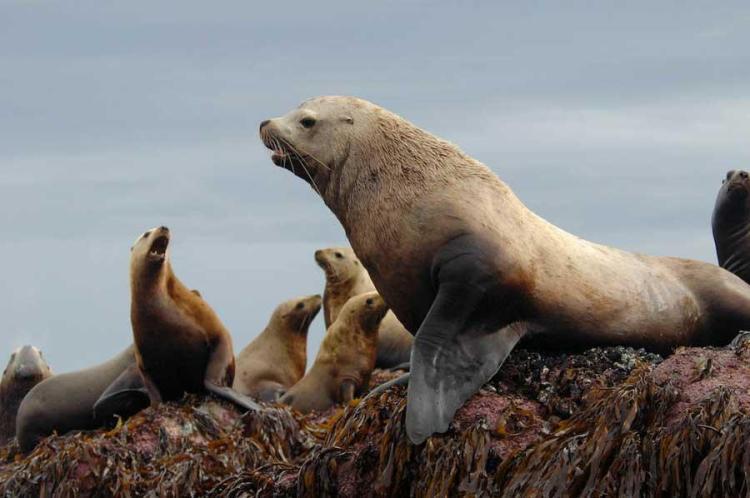 sea lion_trites.jpg