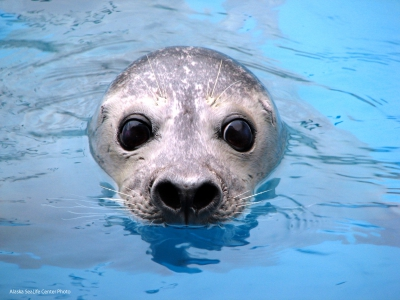 Harbor Seal Image