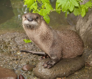 Image of a river otter.